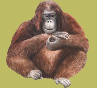 Take in a orangutan species jungle animal