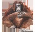 Orangutan ##STADE## - coat 41