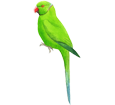Green Parakeet ##STADE## - coat 72