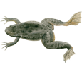 Xenopus Frog ##STADE## - coat 71