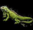 Iguana ##STADE## - coat 72