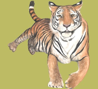 Take in a tiger species jungle animal